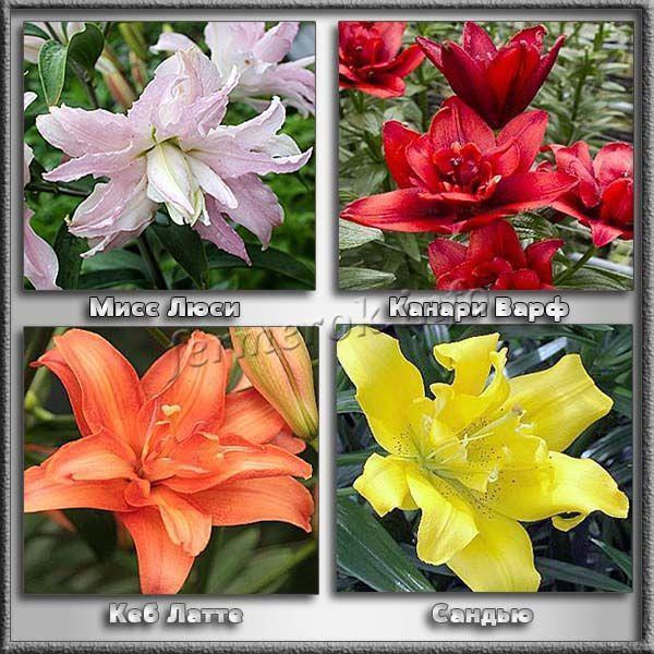 О лилии азиатской: агротехника сортов фата моргана, навона, танго