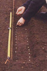 О мальве многолетней: когда сажать, как собирать семена для посадки