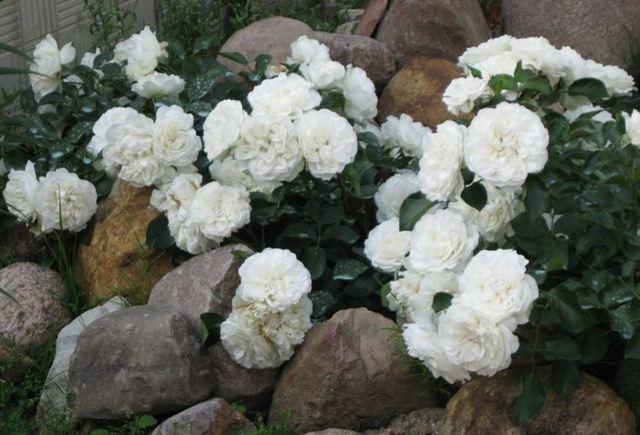 О розе swany: описание и характеристики сортов почвопокровной розы