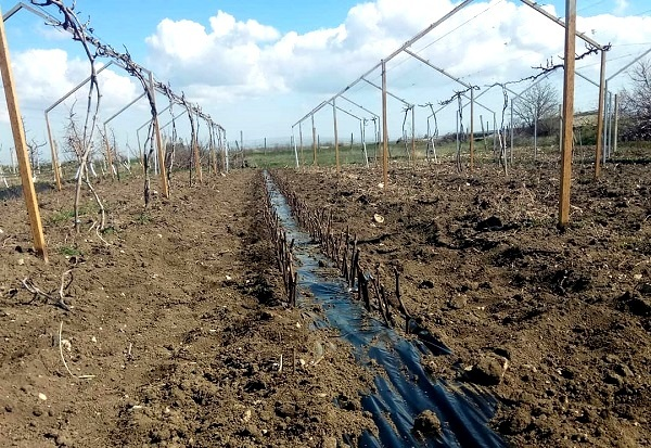 О винограде страшенский: описание и характеристики сорта, посадка и уход
